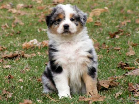 how much are australian shepherd puppies australian shepherds home