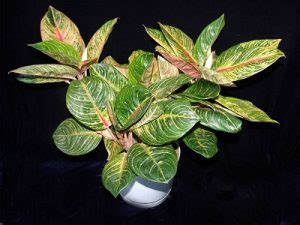 terbaru jenis tanaman hias aglaonema  cantik