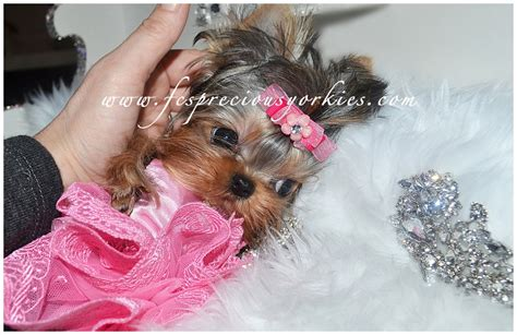yorkie breeders in canada babydoll faced yorkies canada teacup yorkies