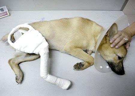 cliniche pavia pavia arrestato veterinario aguzzino di animali e