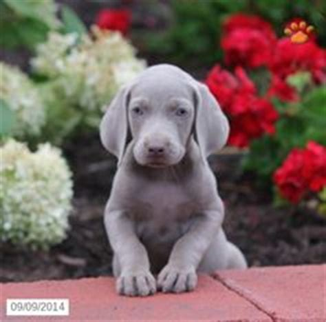 weimaraner puppies pa weimaraner puppy for sale in ohio projects to try for sale puppies
