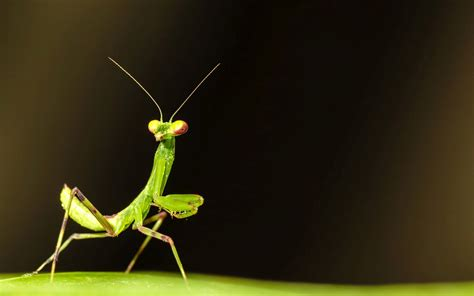 praying mantis wallpaper gallery