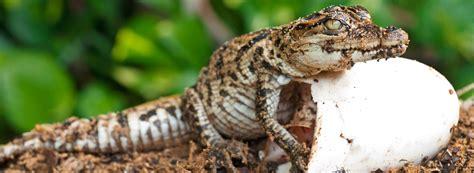 the hunt for alligator eggs