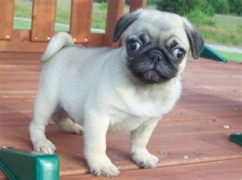 pug for sale baby pugs for sale 12 desktop wallpaper dogbreedswallpapers
