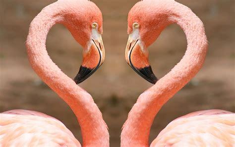 pink flamingos heart by flamingos 2560 x 1600 animals photography