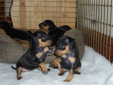 mini pin puppies chion bred miniature pinscher puppies market rasen lincolnshire pets4homes