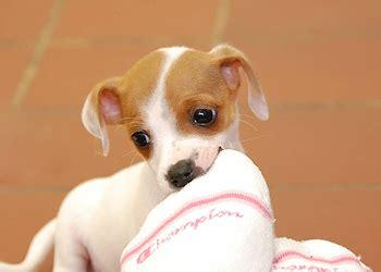 puppy barn hours adopting a puppy peninsula humane society spca