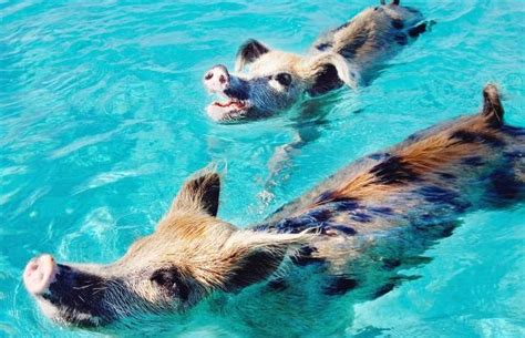 world cat boats careers at big major cay the attraction is feeding swimming pigs