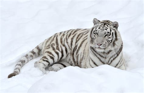 white tiger pictures white tiger wallpapers images photos pictures backgrounds