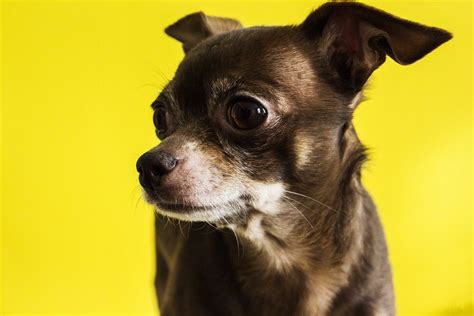 how should a be on puppy food best food for chihuahuas the smallest breed