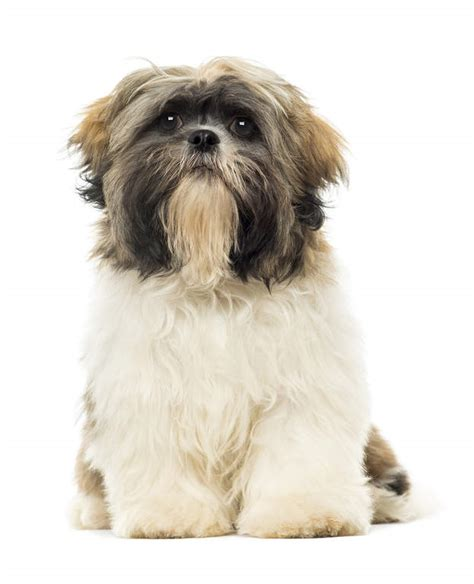 scruffy shih tzu shih tzu dogs breed information omlet