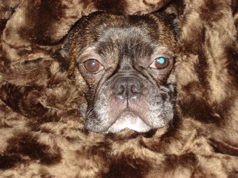 half pug half bulldog my grand sturgis half boston terrier half bulldog isn t he precious