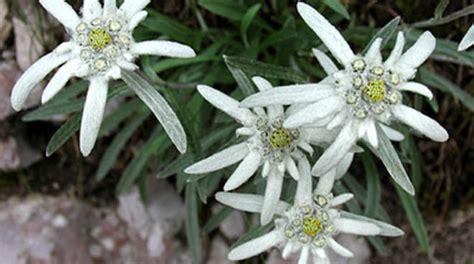 la stella alpina fiore la dolce leggenda sull origine della stella alpina