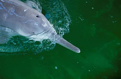 Blind River On Reported Sighting Of Extinct River Dolphin Is Unlikely