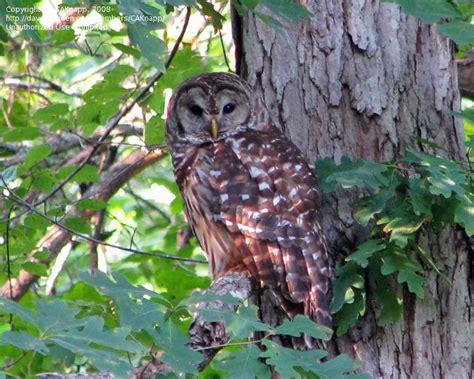 detailed information  barred owl strix varia