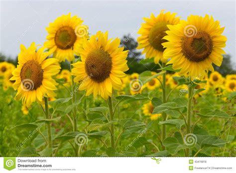imagenes girasoles hermosos girasoles hermosos foto de archivo imagen 43476818