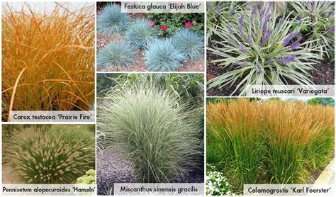 top 28 small decorative grasses 89 best images about