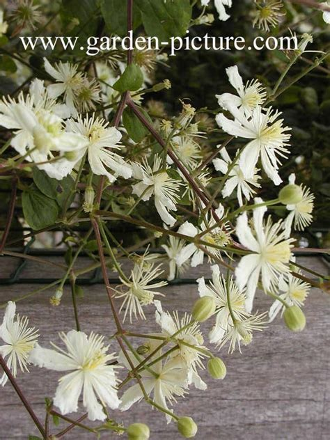 Clematis Summer Snow 2309 by Clematis Summer Snow Clematis 39 Summer Snow 39 39 Paul
