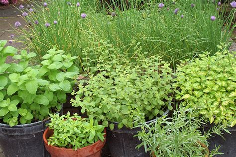 herbal garden how to start an herb garden harvest to table