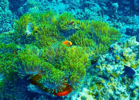 coral reef underwater background clown fish swimming near colorful corals abstract