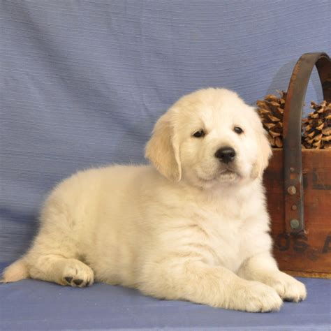dramafire category recommended golden life uncategorized white oak golden retrievers s blog page 2