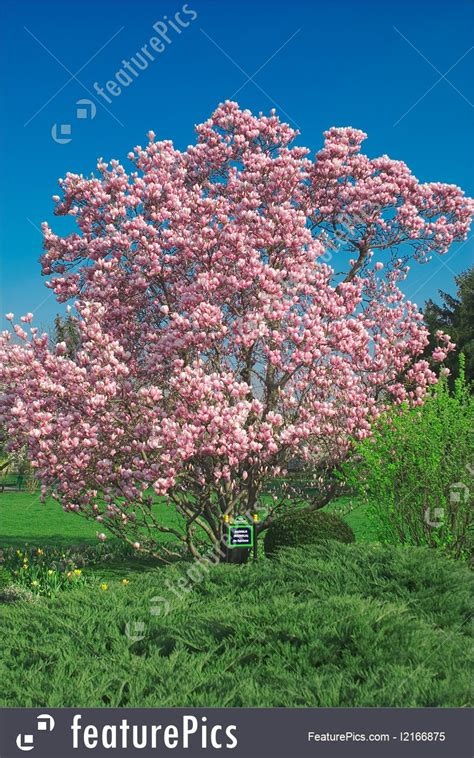 spring season blooming magnolia tree in april stock image i2166875 at featurepics