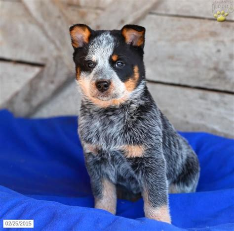 blue heeler puppies for sale indiana 17 best ideas about cattle dogs for sale on miniature cows for sale cows