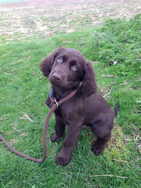 german longhaired pointer puppies german longhaired pointer beccles suffolk pets4homes