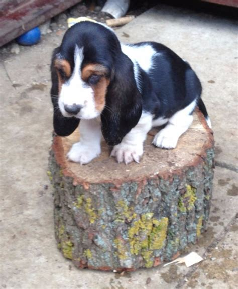 basset hound puppies for sale in california basset hound puppies for sale dogs puppies california