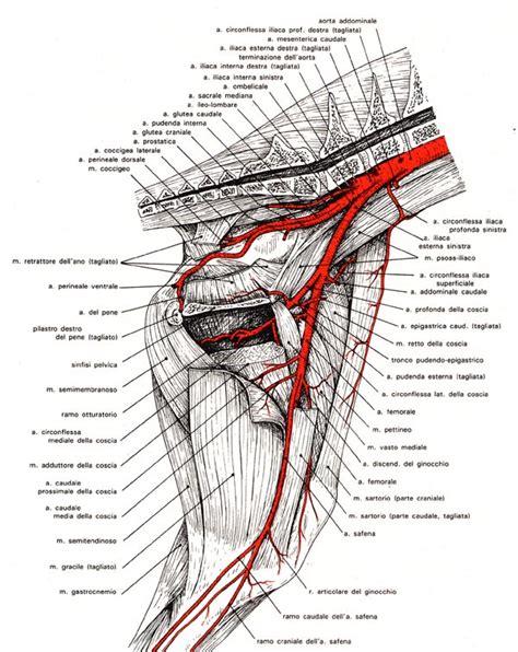 muscoli coscia interna arteria femorale