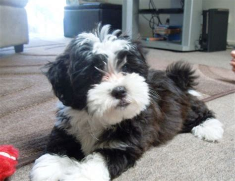 yorkie poo maltese yorkie poo grown yorkie poo animal and doggies