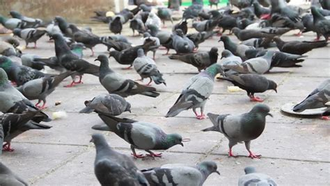 pigeons are pecking at slices of bread people are feeding