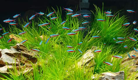 Neon Aquarium Decorations by Neontetra Facts Utah Fishkeepers