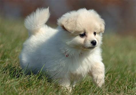 royal pomeranian puppies pictures of pomeranian dogs and puppies pets world