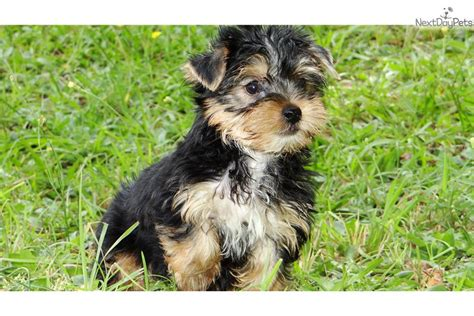 yorkie for sale in atlanta teacup yorkie puppies for sale in breeds picture