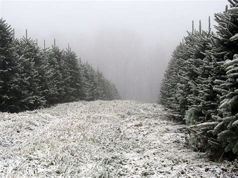 greene tree farm choose and cut christmas trees boone nc