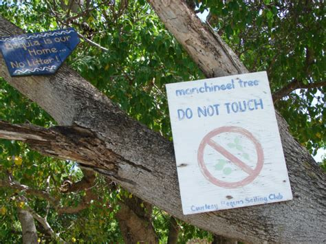 fruit of the poisonous tree the post bar manchineel tree poisonous tree