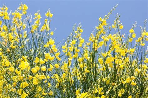 fiore di ginestra significato dei fiori la ginestra pollicegreen