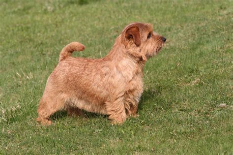 Norfolk Terrier on the grass photo and wallpaper