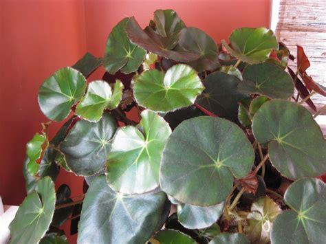 begoniaceae a genus worth exploring piedmont master
