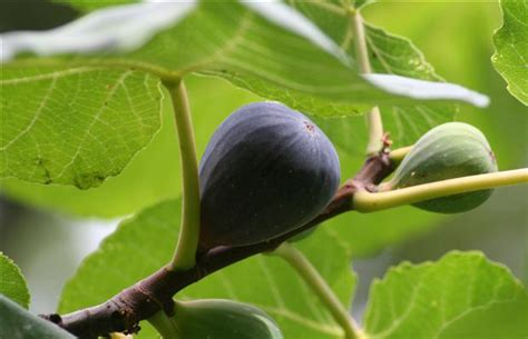 great house plants exotic figs make great house plants