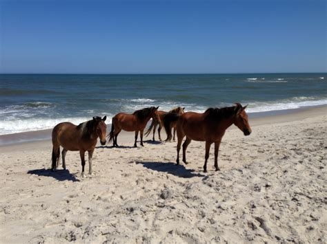 pony island picture7 assateague island wild ponies horses on the beach