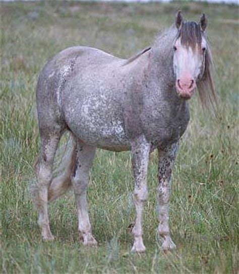 the spanish mustang a breed of many colors
