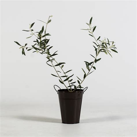 Olive Tree In Planter by Bloomsz Olive Tree In Decorative Planter Bloomsz