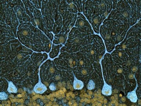 pattern of cell theory best 25 brain neurons ideas on pinterest human brain