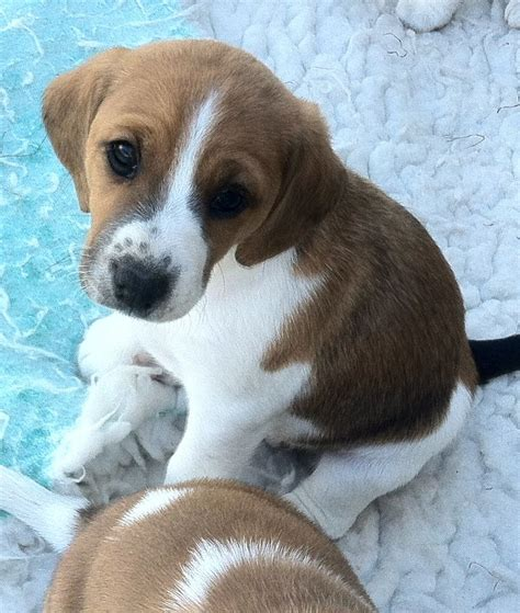 terrier mix puppies fox beagle beagle fox terrier mix info temperament pictures