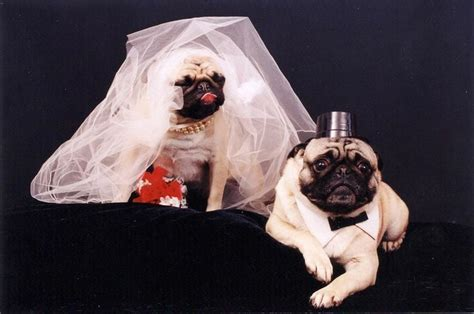 pug wedding dress 18 best pug clothes images on pug pictures