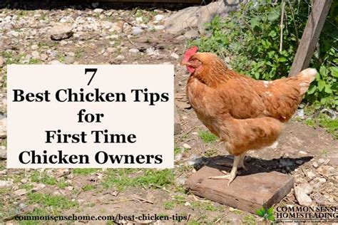 8 Tips On Caring For Chickens by 7 Best Chicken Tips For Time Chicken Owners