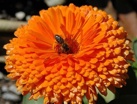 Orange Flowery 20060311 6678 orange flower with bee