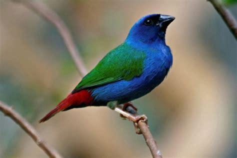 uccelli esotici da gabbia uccelli da gabbia diamante di tanimbar
